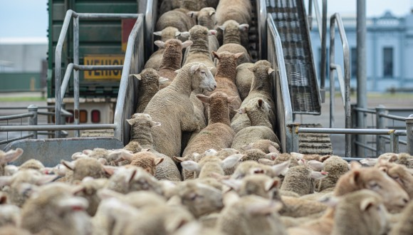 Demanem a la Ministra d'Agricultura portuguesa que protegeixi els animals que són transportats dins de la UE